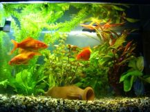 acquario pesci rossi