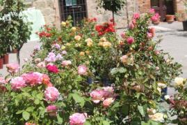 casole in fiore (12)