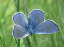 farfalla-celeste-31