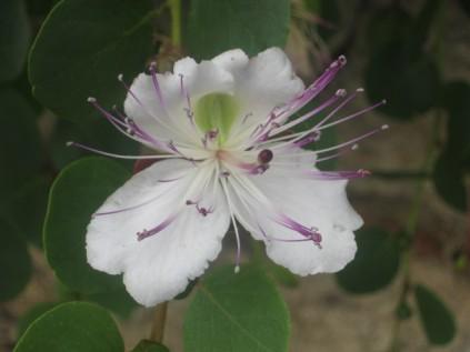 fiori-di-cappero-rapolano-terme