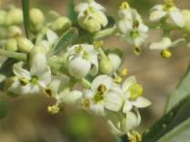 fioritura-ulivi