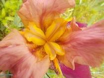 giaggiolo iris (2)