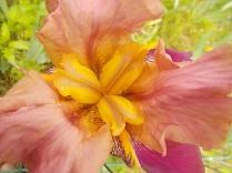 giaggiolo iris (3)