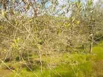 olivi brucati daini (2)