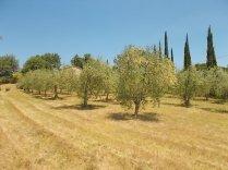 olivi vertine (2)