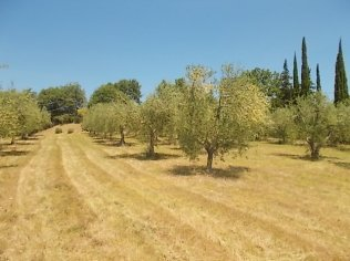 olivi vertine
