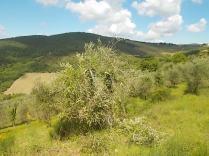 potatura oliveta di vertine (3)