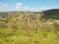potatura oliveta di vertine (4)