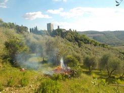 potatura oliveta di vertine (8)