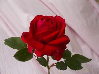 rosa-rossa-piccina