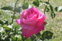 roseto di roma (23)