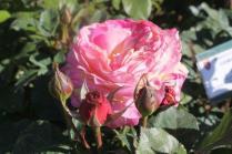 roseto di roma (24)