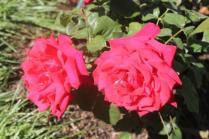 roseto di roma (28)