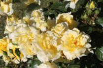 roseto di roma (29)