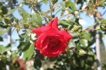 roseto di roma (3)