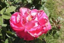 roseto di roma (35)