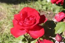 roseto di roma (37)