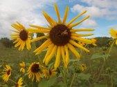 ape-bottinatrice-sul-girasole-fuori-stagione-6