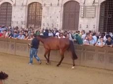 cavalli in piazza del campo (3)