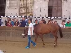 cavalli in piazza del campo (4)