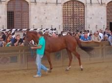 cavalli in piazza del campo (6)