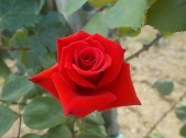 la-vigna-delle-rose-3
