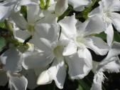 oleandro-bianco 1
