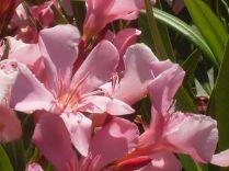 oleandro-rosa