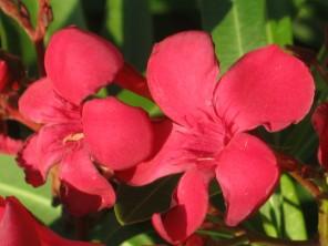 oleandro-rosso