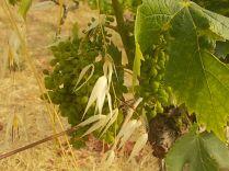 pacina, uva porri e avena (3)