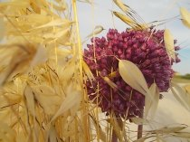 pacina, uva porri e avena (9)