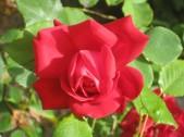 rosa-per-la-piccina
