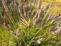 lavanda e farfalle di vertine (1)