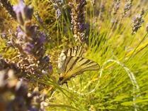 lavanda e farfalle di vertine (10)
