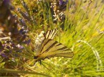 lavanda e farfalle di vertine (11)