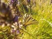 lavanda e farfalle di vertine (12)