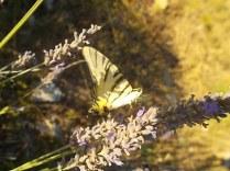 lavanda e farfalle di vertine (14)