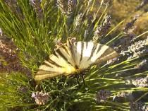 lavanda e farfalle di vertine (2)