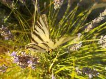 lavanda e farfalle di vertine (3)