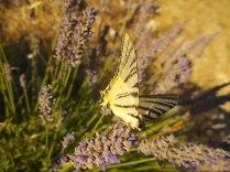 lavanda e farfalle di vertine (4)