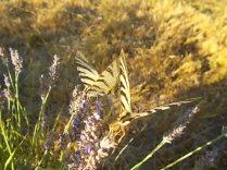 lavanda e farfalle di vertine (5)