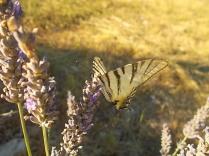 lavanda e farfalle di vertine (6)