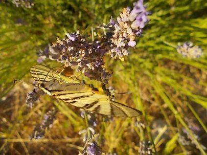 lavanda e farfalle di vertine (7)