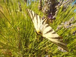 lavanda e farfalle di vertine (8)