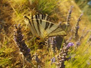 lavanda e farfalle di vertine (9)