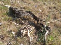 resti di cinghiale divorato (3)