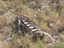 resti di cinghiale divorato (4)