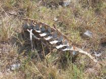 resti di cinghiale divorato (6)