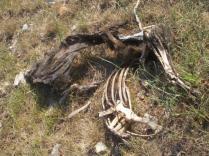 resti di cinghiale divorato (7)