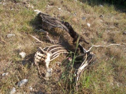 resti di cinghiale divorato (8)